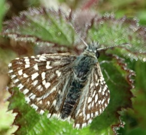 Grizzled Skipper from Waterford Heath North